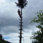 Abbattimento alberi: abete