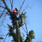 Abbattimento alberi: olmo