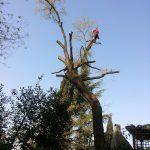 Abbattimento alberi: quercia