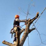 Abbattimento alberi: sofora