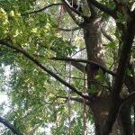 Potatura alberi: bagolaro