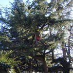 Potatura alberi: cedro